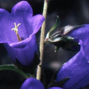 Photographie n°1048797 du taxon Campanula medium L. [1753]