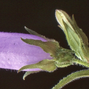Photographie n°1048810 du taxon Campanula medium L. [1753]