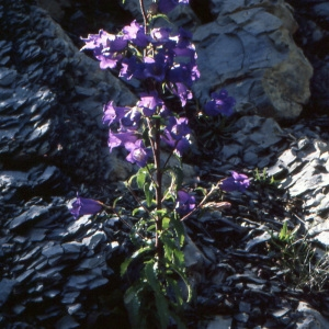 Photographie n°1048820 du taxon Campanula medium L. [1753]