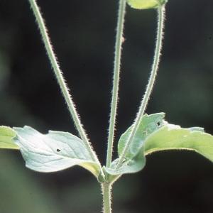 Photographie n°1048823 du taxon Campanula medium L. [1753]