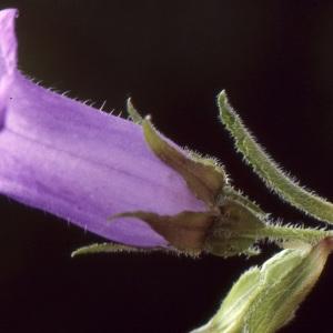 Photographie n°1048825 du taxon Campanula medium L. [1753]