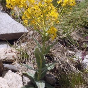 Isatis alpina Vill. (Pastel d'Allioni)