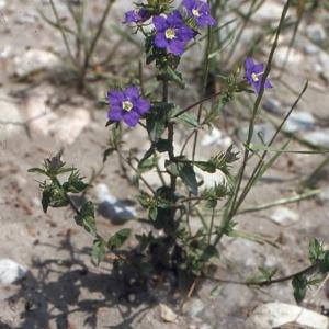 Photographie n°1049375 du taxon Legousia speculum-veneris (L.) Chaix