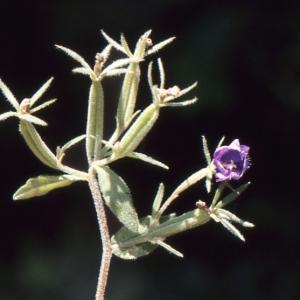 Photographie n°1049378 du taxon Legousia speculum-veneris (L.) Chaix