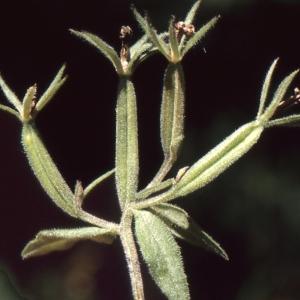 Photographie n°1049379 du taxon Legousia speculum-veneris (L.) Chaix