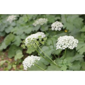 Heracleum alpinum L. (Berce des Alpes)