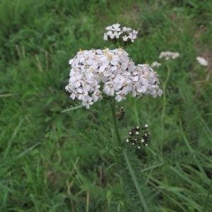 Photographie n°1049838 du taxon Achillea millefolium subsp. millefolium
