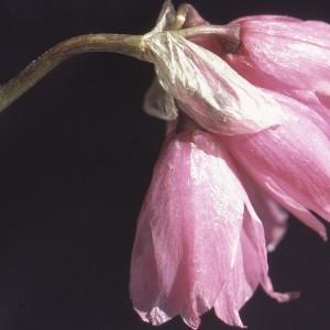 Photographie n°1050303 du taxon Allium narcissiflorum Vill. [1779]