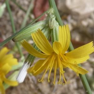 Photographie n°1050519 du taxon Chondrilla juncea L. [1753]