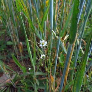 - Spergula arvensis var. arvensis