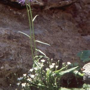 Photographie n°1051423 du taxon Phyteuma scorzonerifolium Vill.