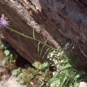 Photographie n°1051425 du taxon Phyteuma scorzonerifolium Vill.