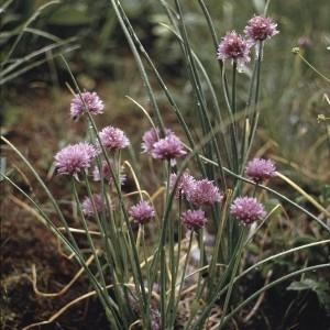 Photographie n°1051443 du taxon Allium schoenoprasum L.