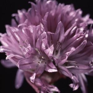 Photographie n°1051444 du taxon Allium schoenoprasum L.