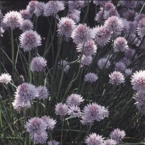 Photographie n°1051445 du taxon Allium schoenoprasum L.