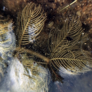 Photographie n°1052089 du taxon Myriophyllum spicatum L. [1753]