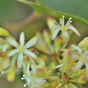 Photographie n°1052175 du taxon Smilax aspera L. [1753]