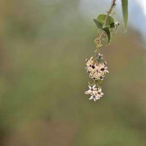 Photographie n°1052187 du taxon Smilax aspera L. [1753]