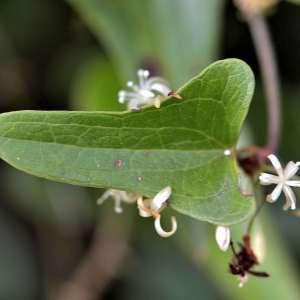 Photographie n°1052188 du taxon Smilax aspera L. [1753]