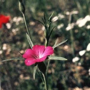Photographie n°1052344 du taxon Agrostemma githago L. [1753]