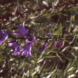 Photographie n°1052552 du taxon Campanula bononiensis L. [1753]