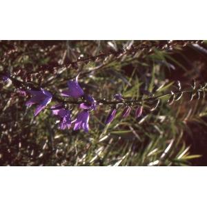 Campanula bononiensis L. (Campanule de Bologne)