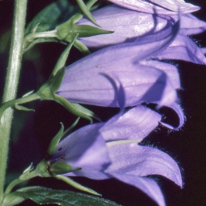 - Campanula latifolia L. [1753]