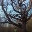 Germain THOMAS - Quercus petraea (Matt.) Liebl.