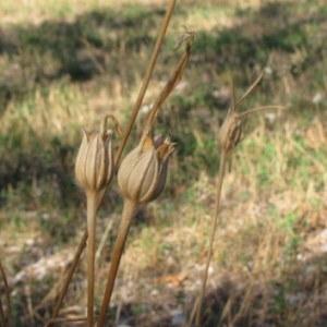 Photographie n°1055075 du taxon Agrostemma githago L. [1753]