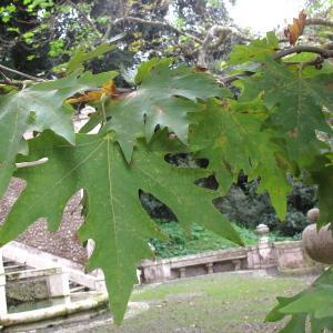 - Platanus orientalis L.