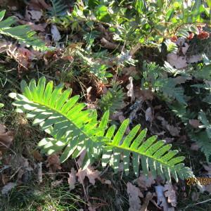 Photographie n°1055675 du taxon Polypodium L.