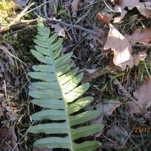 Photographie n°1055676 du taxon Polypodium L.