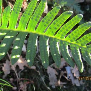 Photographie n°1055677 du taxon Polypodium L.