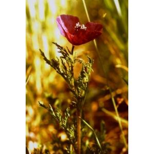 Roemeria hybrida (L.) DC. subsp. hybrida (Roemérie hybride)