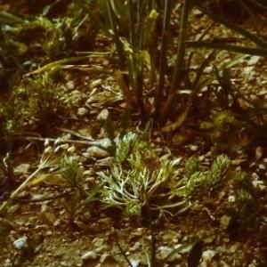 - Ceratocephala falcata subsp. falcata