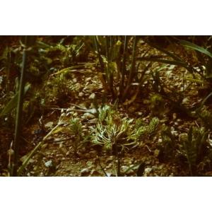 Ceratocephala falcata (L.) Pers. subsp. falcata (Cératocéphale en faux)