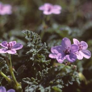 Erodium maritimum (L.) L'Hér. (Bec-de-grue maritime)