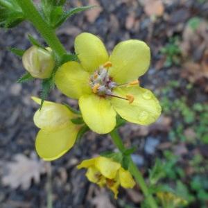 Photographie n°1057202 du taxon Verbascum L. [1753]