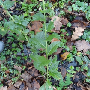 Photographie n°1057203 du taxon Verbascum L. [1753]