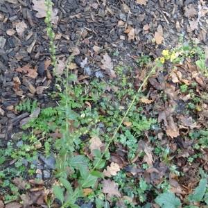 Photographie n°1057205 du taxon Verbascum L. [1753]