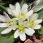 Nehemie MESLAGE - Allium chamaemoly L. [1753]