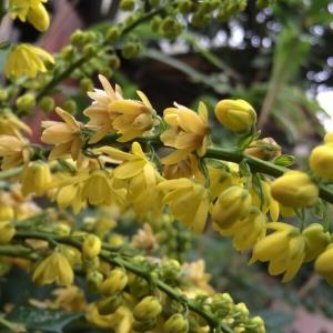 Berberis japonica (Thunb.) R.Br. (Mahonia du Japon)