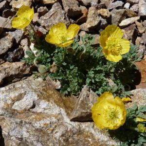 Photographie n°1058848 du taxon Papaver alpinum L. [1753]