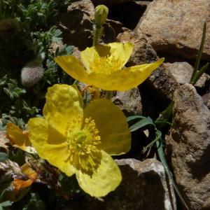 Photographie n°1058849 du taxon Papaver alpinum L. [1753]