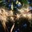 Liliane Roubaudi - Nerium oleander L. [1753]
