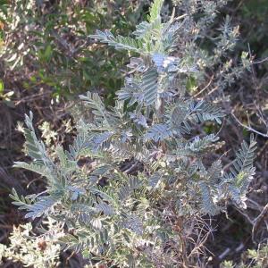 Photographie n°1062287 du taxon Anthyllis barba-jovis
