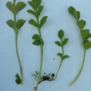 Photographie n°1062471 du taxon Capsella bursa-pastoris (L.) Medik.