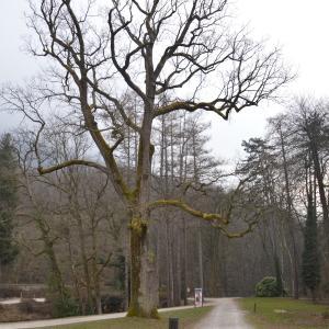 Photographie n°1063996 du taxon Quercus robur L. [1753]