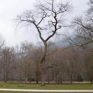 Photographie n°1064009 du taxon Prunus serotina
