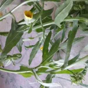 Photographie n°1066139 du taxon Calendula L. [1753]